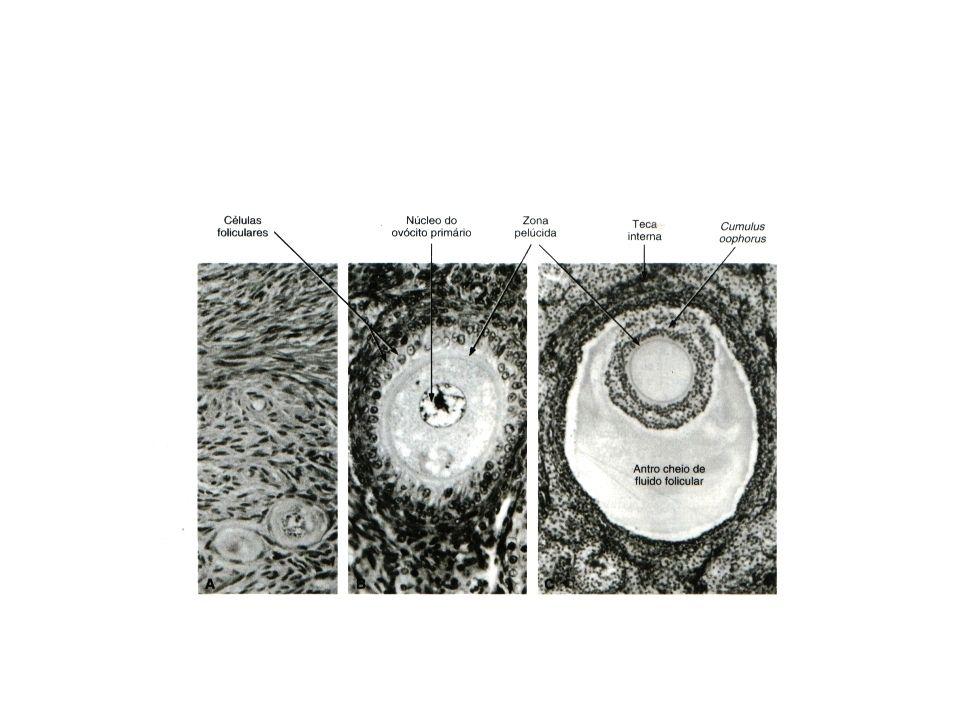 Gastrulação Os três folhetos germinativos: – Ectoderma: dá origem a epiderme e ao sistema nervoso central e periférico.