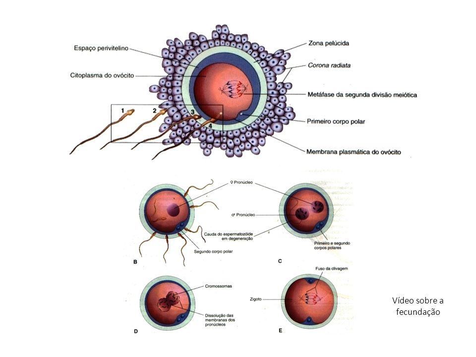 Gastrulação: Linha primitiva: é o resultado da proliferação e migração das células do epiblasto para o plano mediano do disco embrionário.