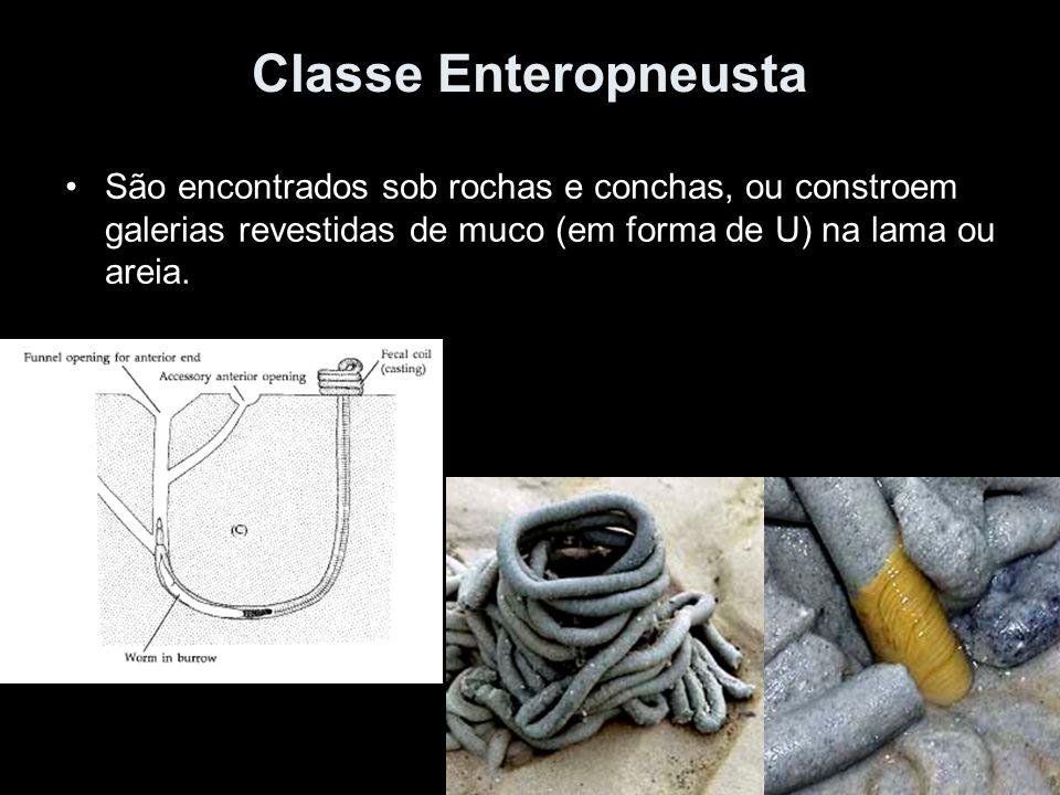 Classe Enteropneusta São encontrados sob rochas e conchas, ou constroem galerias revestidas de muco (em forma de U) na lama ou areia.