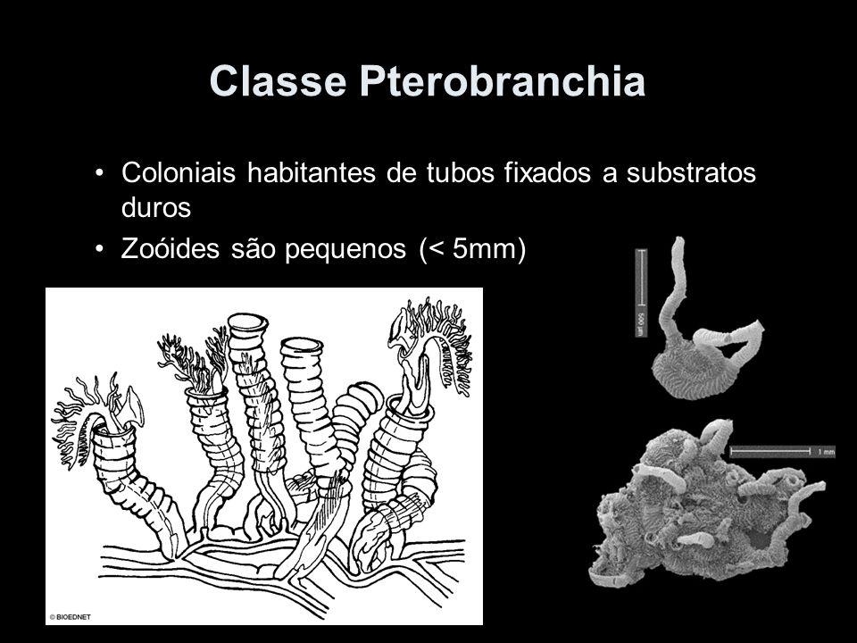 Classe Pterobranchia Coloniais habitantes de tubos fixados a substratos duros Zoóides são pequenos (< 5mm)