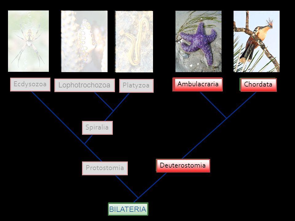 DEUTEROSTOMIA SINAPOMORFIAS Clivagem radial O blastóporo originando o ânus Mesoderme derivada da parede do arquênteron Cavidade celômica origina-se por enterocelia (evaginações do arquêntero) Corpo tipicamente tripartido: Protossomo (protocele) Mesossomo (mesocele) Metassomo (metacele)