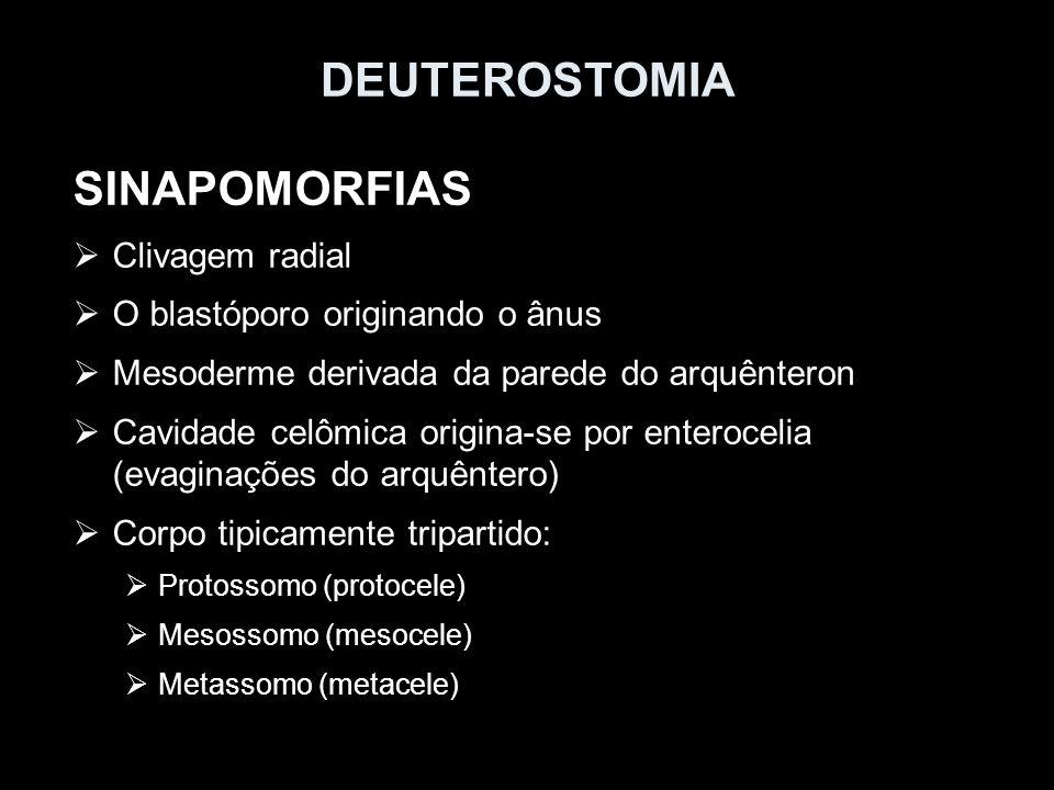 SINAPOMORFIAS Clivagem radial O blastóporo originando o ânus Mesoderme derivada da parede do arquênteron Cavidade celômica origina- se por enterocelia (evaginações do arquêntero) Corpo tipicamente tripartido: Prossoma (protocele) Mesossoma (mesocele) Metassoma (metacele) Deuterostomia Protostomia