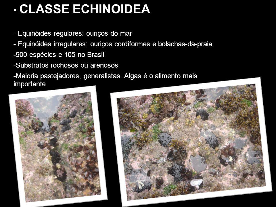 CLASSE ECHINOIDEA CLASSE ECHINOIDEA - Equinóides regulares: ouriços-do-mar - Equinóides irregulares: ouriços cordiformes e bolachas-da-praia -900 espé