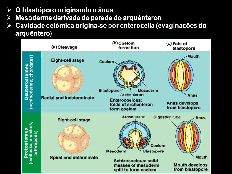 O blastóporo originando o ânus Mesoderme derivada da parede do arquênteron Cavidade celômica origina-se por enterocelia (evaginações do arquêntero)