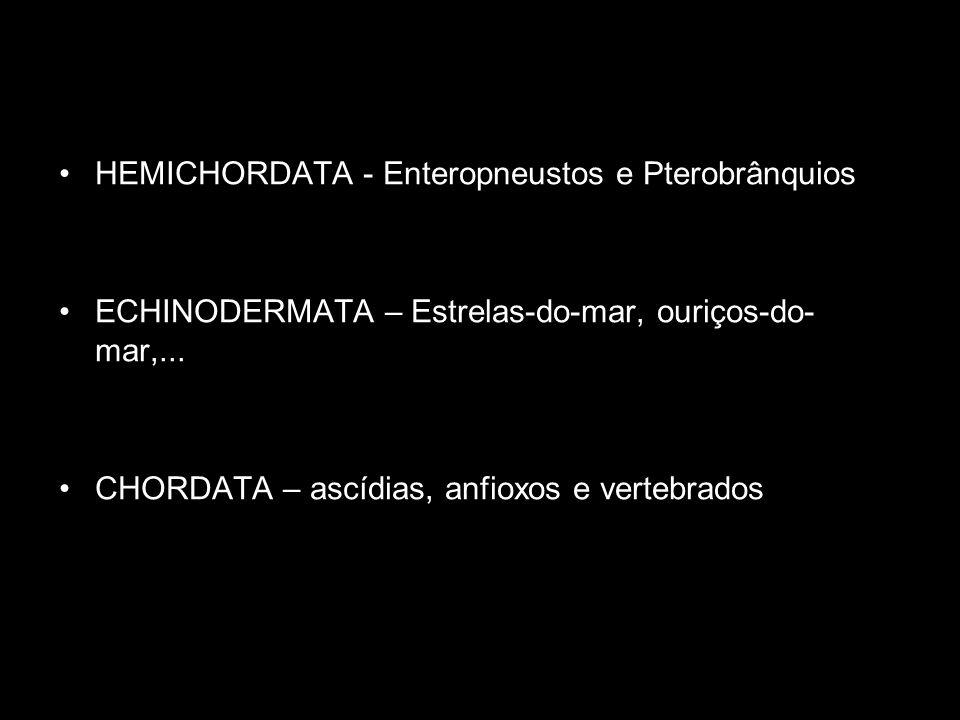 HEMICHORDATA - Enteropneustos e Pterobrânquios ECHINODERMATA – Estrelas-do-mar, ouriços-do- mar,... CHORDATA – ascídias, anfioxos e vertebrados