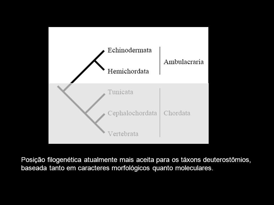 - Pedicelários - Pápulas com função respiratória na região aboral - Pápulas com função respiratória na região aboral - 5 a 50 braços articuláveis - Sulcos ambulacrais e ampolas - Tentáculos e mancha ocelar na extremidade dos braços.