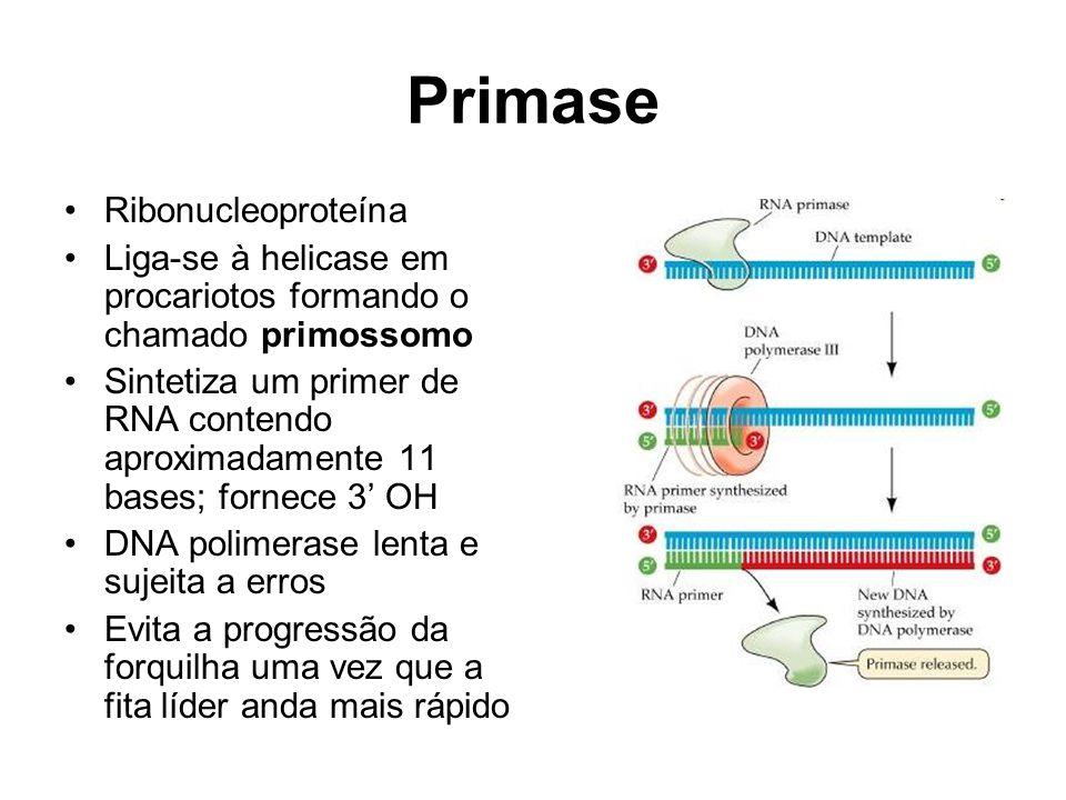 Primase Ribonucleoproteína Liga-se à helicase em procariotos formando o chamado primossomo Sintetiza um primer de RNA contendo aproximadamente 11 bases; fornece 3 OH DNA polimerase lenta e sujeita a erros Evita a progressão da forquilha uma vez que a fita líder anda mais rápido