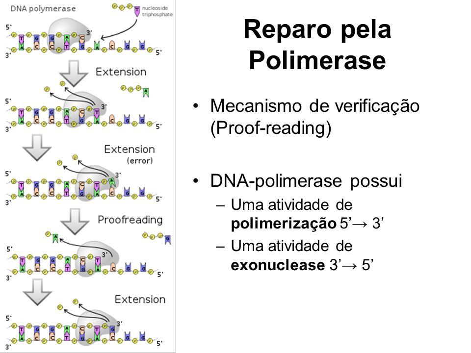 Reparo pela Polimerase Mecanismo de verificação (Proof-reading) DNA-polimerase possui –Uma atividade de polimerização 5 3 –Uma atividade de exonuclease 3 5