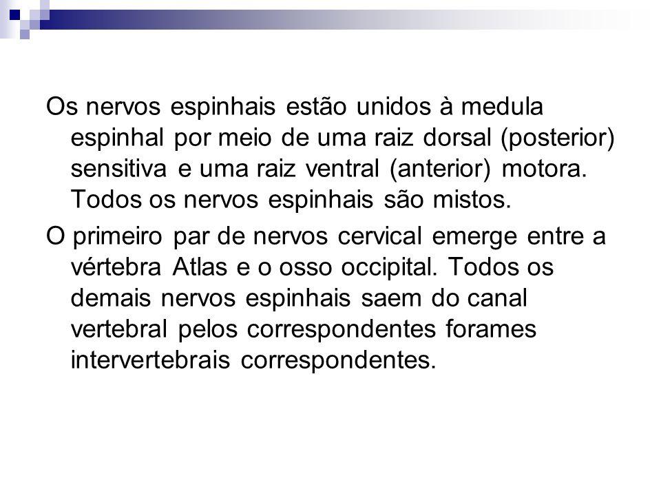 Os nervos espinhais estão unidos à medula espinhal por meio de uma raiz dorsal (posterior) sensitiva e uma raiz ventral (anterior) motora. Todos os ne