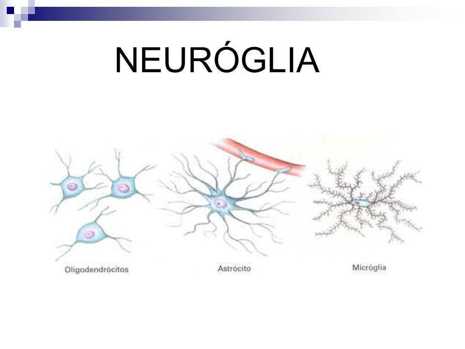 NERVOS CRANIANOS Os nervos cranianos saem do encéfalo, e constam de 12 pares que se dividem quanto a função em: sensitivos, motores e mistos.
