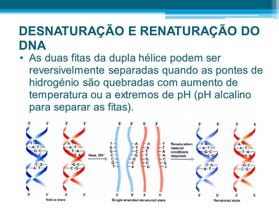 DESNATURAÇÃO E RENATURAÇÃO DO DNA As duas fitas da dupla hélice podem ser reversivelmente separadas quando as pontes de hidrogénio são quebradas com a