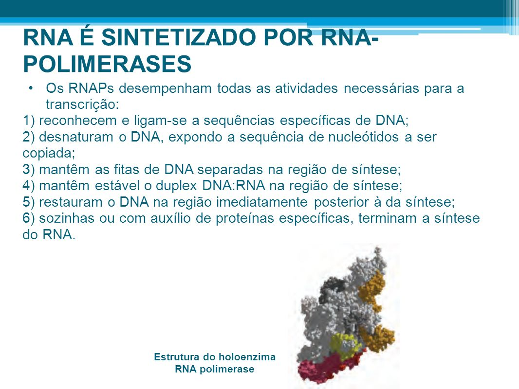 RNA É SINTETIZADO POR RNA- POLIMERASES Os RNAPs desempenham todas as atividades necessárias para a transcrição: 1) reconhecem e ligam-se a sequências