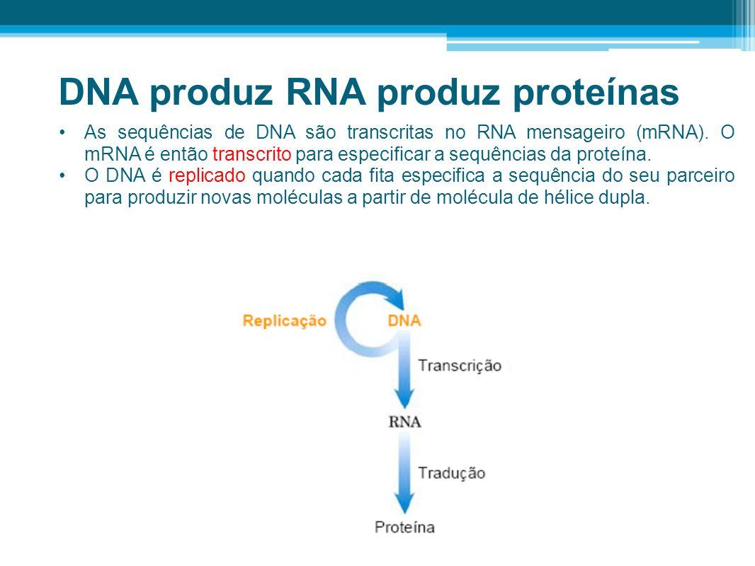 DNA produz RNA produz proteínas As sequências de DNA são transcritas no RNA mensageiro (mRNA). O mRNA é então transcrito para especificar a sequências
