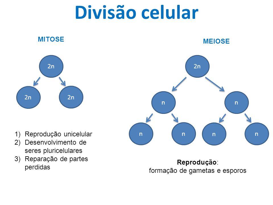 Divisão celular 2n MITOSE MEIOSE 2n 1)Reprodução unicelular 2)Desenvolvimento de seres pluricelulares 3)Reparação de partes perdidas 2n nn n nn n Reprodução: formação de gametas e esporos
