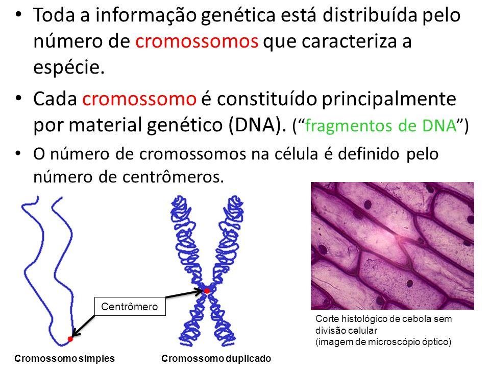Toda a informação genética está distribuída pelo número de cromossomos que caracteriza a espécie.