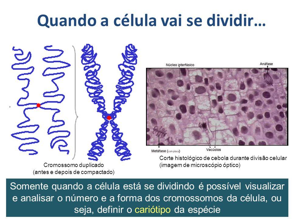 Quando a célula vai se dividir… Corte histológico de cebola durante divisão celular (imagem de microscópio óptico) Somente quando a célula está se dividindo é possível visualizar e analisar o número e a forma dos cromossomos da célula, ou seja, definir o cariótipo da espécie Cromossomo duplicado (antes e depois de compactado)