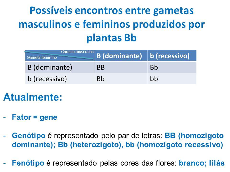 Possíveis encontros entre gametas masculinos e femininos produzidos por plantas Bb B (dominante)b (recessivo) B (dominante)BBBb b (recessivo)Bbbb Gameta masculino Gameta feminino Atualmente: -Fator = gene -Genótipo é representado pelo par de letras: BB (homozigoto dominante); Bb (heterozigoto), bb (homozigoto recessivo) -Fenótipo é representado pelas cores das flores: branco; lilás