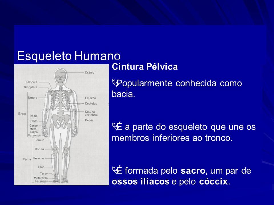 Esqueleto Humano Cintura Pélvica Popularmente conhecida como bacia. É a parte do esqueleto que une os membros inferiores ao tronco. É formada pelo sac