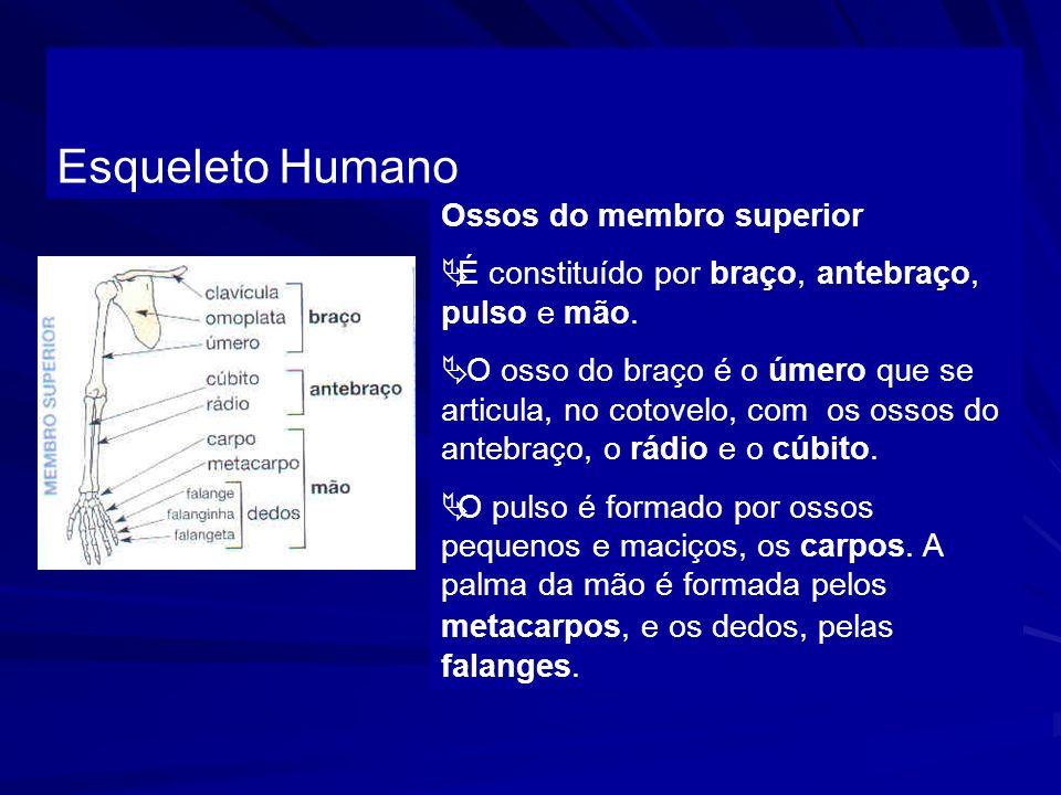 Esqueleto Humano Ossos do membro superior É constituído por braço, antebraço, pulso e mão. O osso do braço é o úmero que se articula, no cotovelo, com