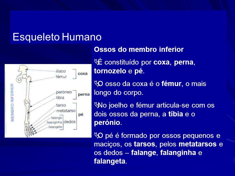 Esqueleto Humano Ossos do membro inferior É constituído por coxa, perna, tornozelo e pé. O osso da coxa é o fémur, o mais longo do corpo. No joelho e