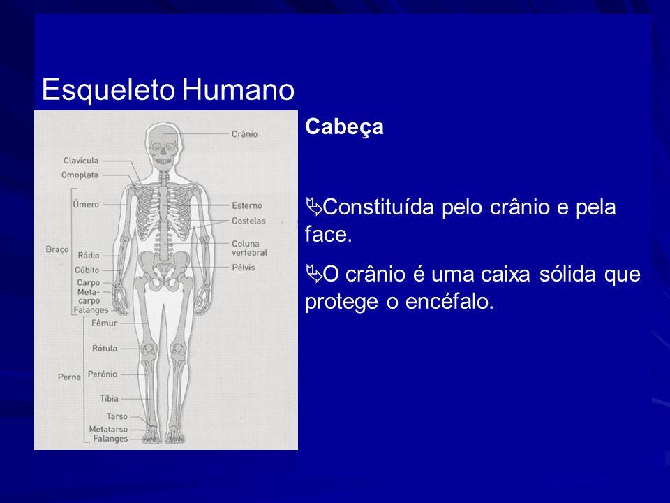 Cabeça Constituída pelo crânio e pela face. O crânio é uma caixa sólida que protege o encéfalo. Esqueleto Humano