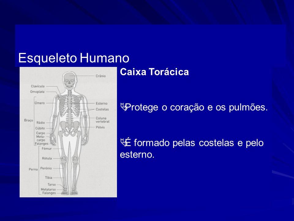 Esqueleto Humano Caixa Torácica Protege o coração e os pulmões. É formado pelas costelas e pelo esterno.