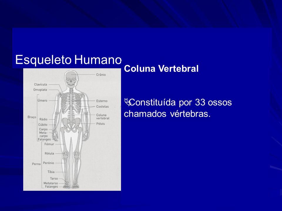 Esqueleto Humano Coluna Vertebral Constituída por 33 ossos chamados vértebras.