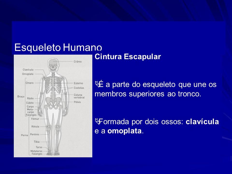 Esqueleto Humano Cintura Escapular É a parte do esqueleto que une os membros superiores ao tronco. Formada por dois ossos: clavícula e a omoplata.