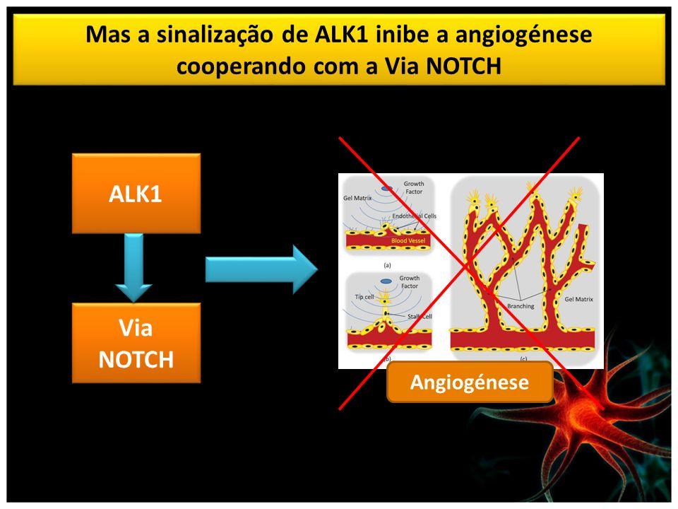 Mas a sinalização de ALK1 inibe a angiogénese cooperando com a Via NOTCH ALK1 Via NOTCH Angiogénese
