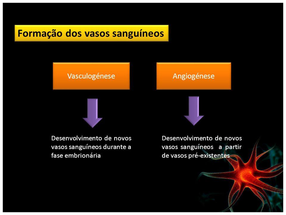 Formação dos vasos sanguíneos Vasculogénese Angiogénese Desenvolvimento de novos vasos sanguíneos durante a fase embrionária Desenvolvimento de novos