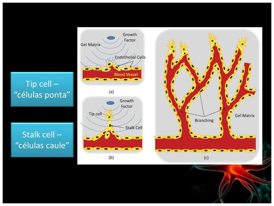 Tip cell – células ponta Stalk cell – células caule