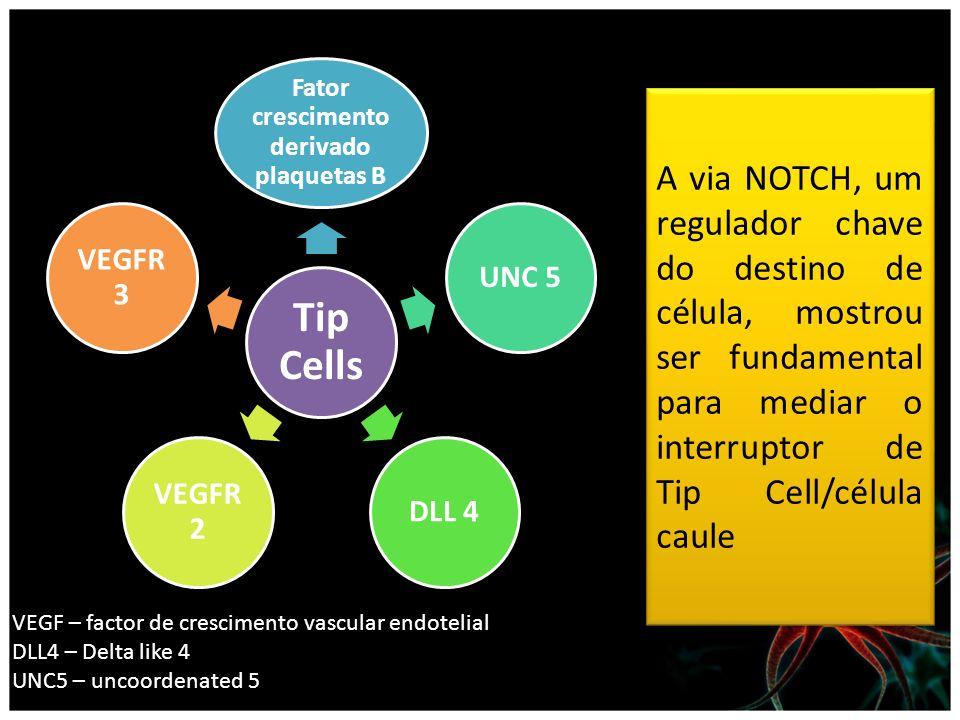 Tip Cells Fator crescimento derivado plaquetas B UNC 5DLL 4 VEGFR 2 VEGFR 3 A via NOTCH, um regulador chave do destino de célula, mostrou ser fundamen