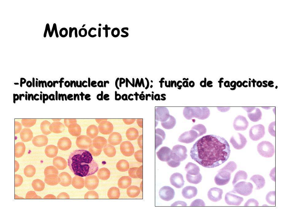 Mon ó citos -Polimorfonuclear (PNM); função de fagocitose, principalmente de bact é rias
