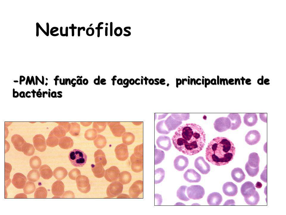 Neutr ó filos -PMN; função de fagocitose, principalmente de bact é rias