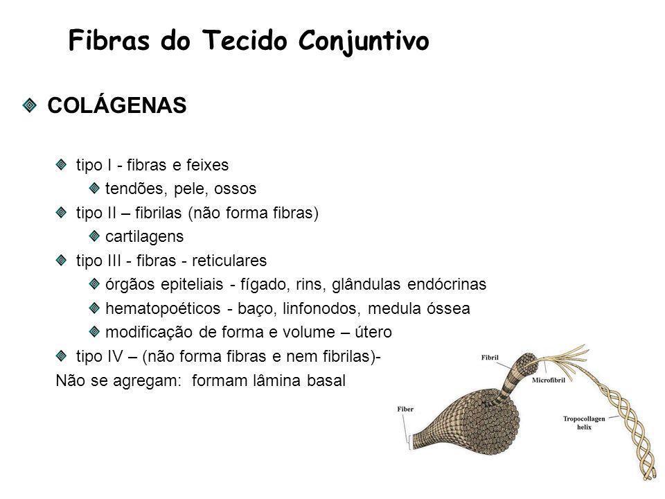 Fibras do Tecido Conjuntivo COLÁGENAS tipo I - fibras e feixes tendões, pele, ossos tipo II – fibrilas (não forma fibras) cartilagens tipo III - fibras - reticulares órgãos epiteliais - fígado, rins, glândulas endócrinas hematopoéticos - baço, linfonodos, medula óssea modificação de forma e volume – útero tipo IV – (não forma fibras e nem fibrilas)- Não se agregam: formam lâmina basal