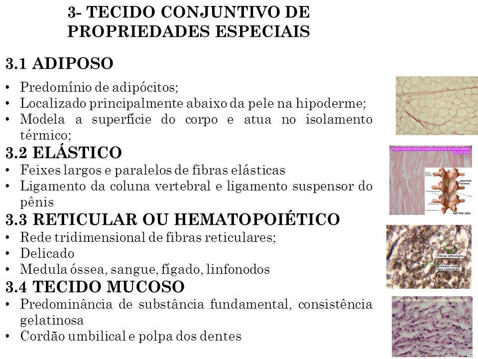 3- TECIDO CONJUNTIVO DE PROPRIEDADES ESPECIAIS 3.1 ADIPOSO Predomínio de adipócitos; Localizado principalmente abaixo da pele na hipoderme; Modela a s