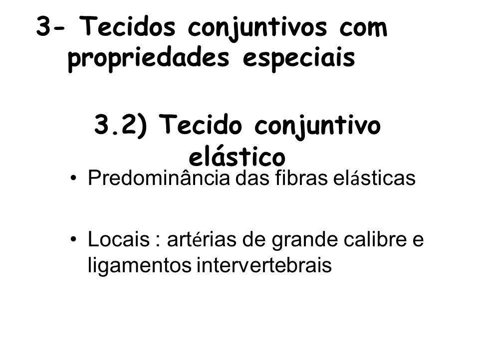 3- Tecidos conjuntivos com propriedades especiais Predominância das fibras el á sticas Locais : art é rias de grande calibre e ligamentos intervertebrais 3.2) Tecido conjuntivo elástico