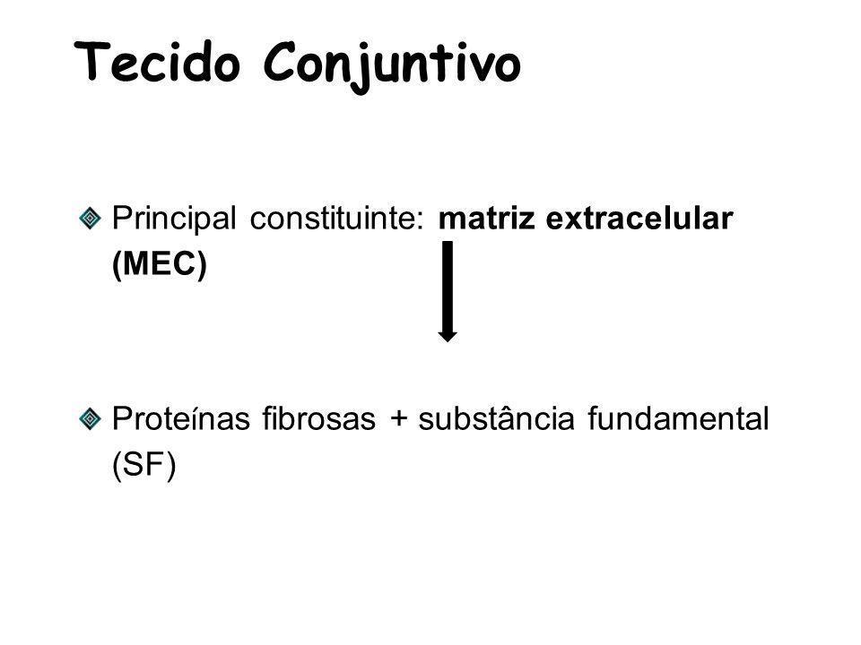 Tecido Conjuntivo Principal constituinte: matriz extracelular (MEC) Prote í nas fibrosas + substância fundamental (SF)
