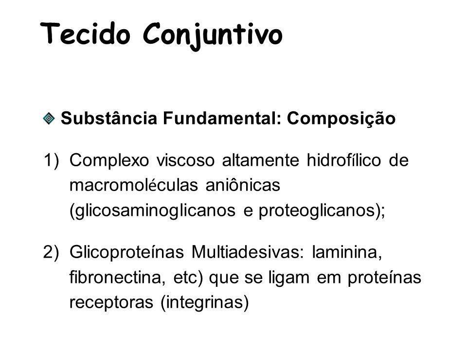 Tecido Conjuntivo Substância Fundamental: Composição 1)Complexo viscoso altamente hidrof í lico de macromol é culas aniônicas (glicosaminoglicanos e proteoglicanos); 2)Glicoproteínas Multiadesivas: laminina, fibronectina, etc) que se ligam em proteínas receptoras (integrinas)