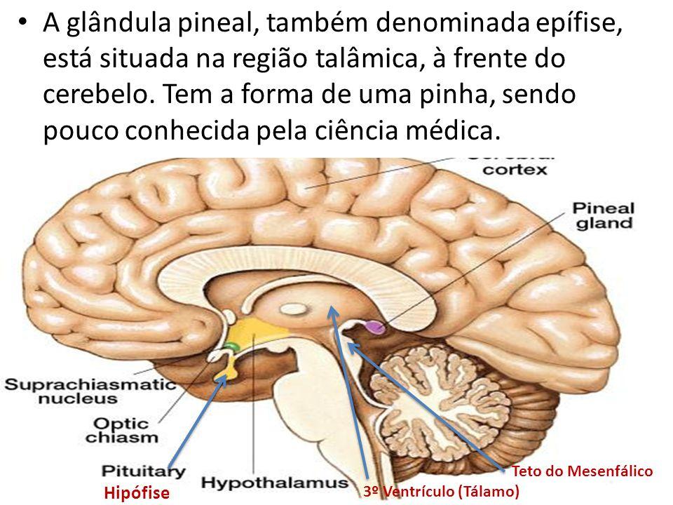 A glândula pineal, também denominada epífise, está situada na região talâmica, à frente do cerebelo. Tem a forma de uma pinha, sendo pouco conhecida p