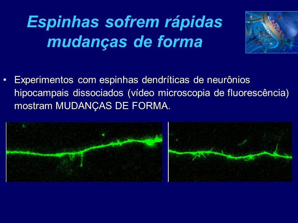Filopodia como precursores de espículas e sinapses Cérebro em desenvolvimento... Dendritos protrusões filopodiais estabilidaderetração Espinhas dendrí