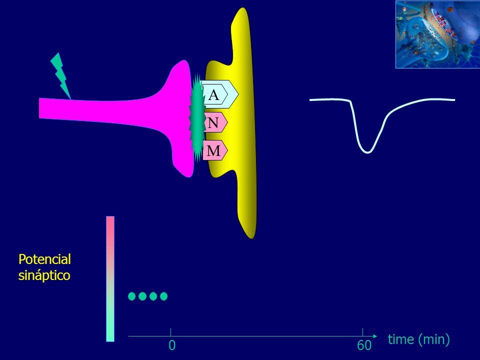 A N M A Potencial sináptico time (min) 0