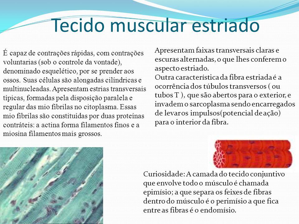Tecido muscular cardiaco Apresenta miócitos estriados com um ou dois núcleos centrais.