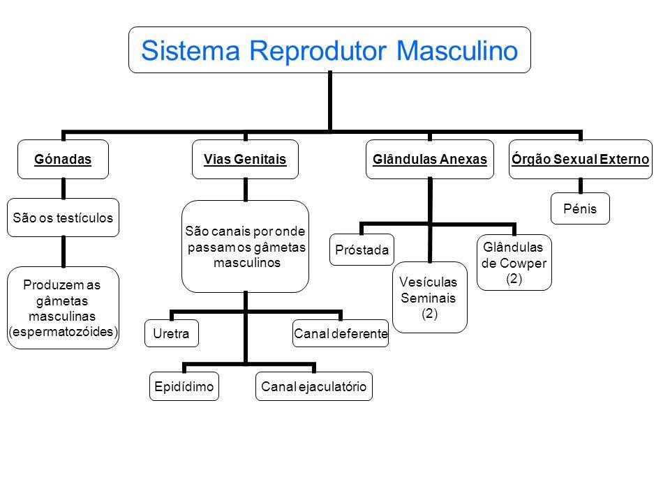 Gónadas São os testículos Produzem as gâmetas masculinas (espermatozóides) Glândulas Anexas Próstada Vesículas Seminais (2) Glândulas de Cowper (2) Vi
