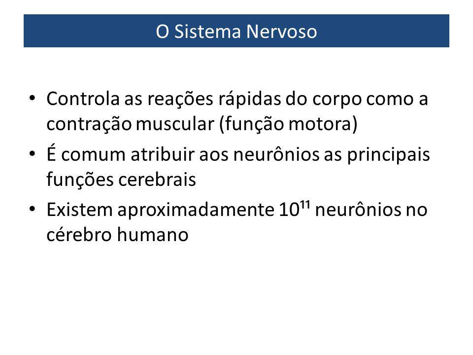 O Sistema Nervoso Controla as reações rápidas do corpo como a contração muscular (função motora) É comum atribuir aos neurônios as principais funções