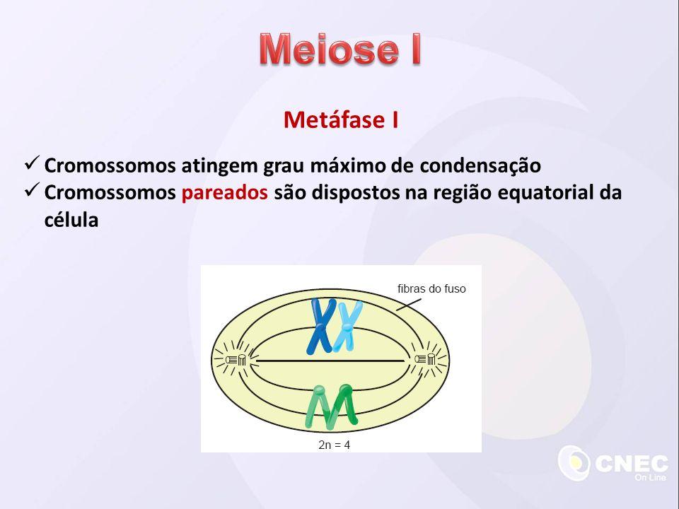 Metáfase I Cromossomos atingem grau máximo de condensação Cromossomos pareados são dispostos na região equatorial da célula