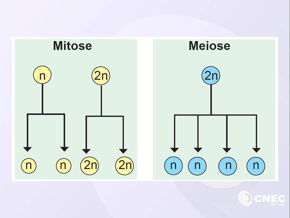 Crescimento e reparação de tecidos dos organismos pluricelulares Reprodução assexuada Formação de gametas nos vegetais Prófase Metáfase Anáfase Telófase Etapas da mitose