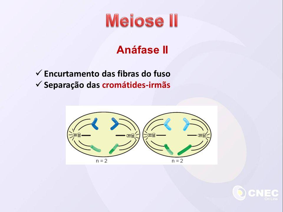 Anáfase II Encurtamento das fibras do fuso Separação das cromátides-irmãs