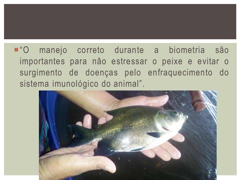 O manejo correto durante a biometria são importantes para não estressar o peixe e evitar o surgimento de doenças pelo enfraquecimento do sistema imuno