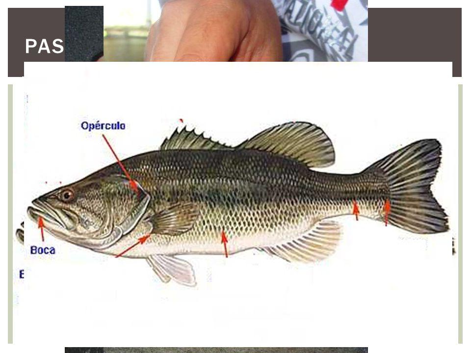 Para que não haja sofrimento dos peixes é feito a insensibilização utilizando alguns anestésicos, como o Eugenol. - Na biometria, são realizadas algum